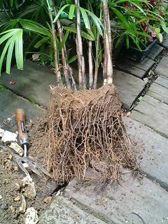 観音竹の根