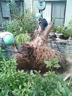 ヤマボウシの根
